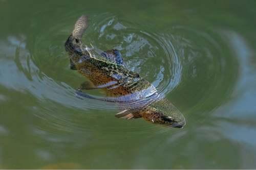 Trota in un lago.