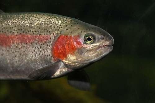 La trota iridea, un pesce arcobaleno