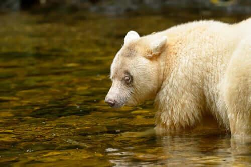 Ursus americanus kermodei mentre caccia il salmone.