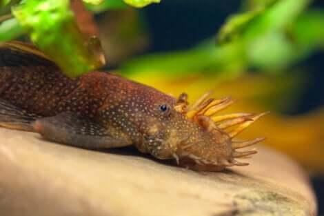 Pesce Ancistrus.
