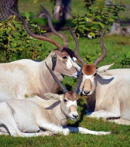 Gruppo di antilopi.