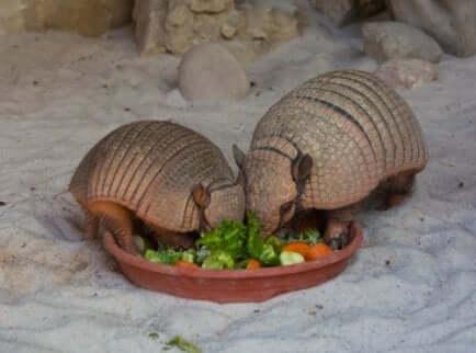 Pasto di due armadilli.