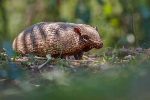 L'armadillo a sei fasce: un curioso mammifero sudamericano