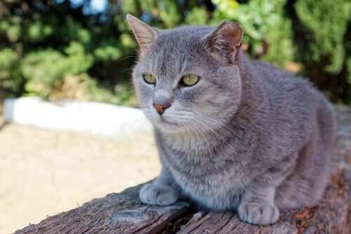 Sintomi della leucemia nei gatti: come riconoscerli