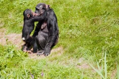Il bacio nel regno animale: bacio tra bonobo.