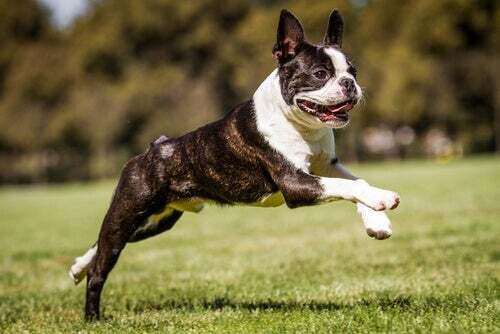 Boston terrier che salta.