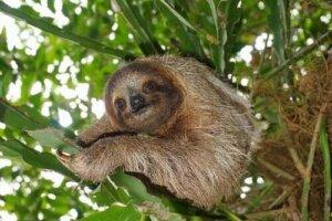 Le curiose abitudini del bradipo variegato
