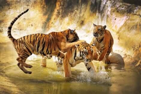 Esemplari di tigre del Bengala giocano.