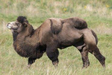 Cammello della Battriana: un animale dalla resistenza straordinaria