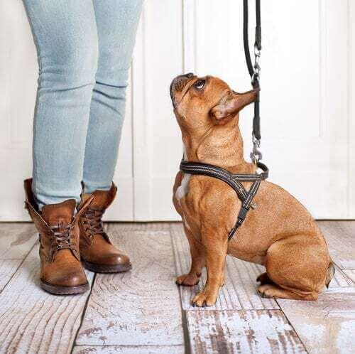 Cane con la pettorina che guarda il padrone.