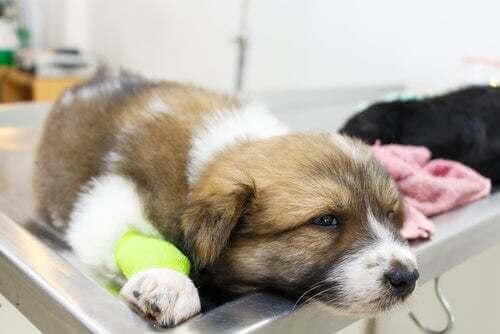 Cane malato con la zampa fasciata.
