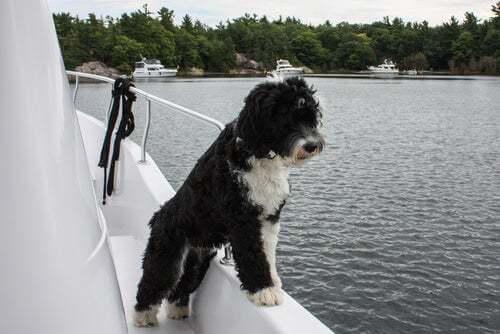 Cane su una barca.