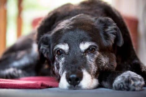 Cane anziano.