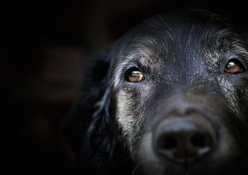 Demenza senile nei cani: cosa dice la scienza?