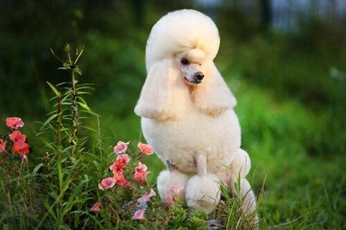 Scopriamo quattro tipi di cani Barbone e le loro caratteristiche