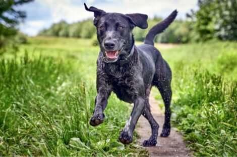 Atassia nei cani: cane dall'andatura alterata.