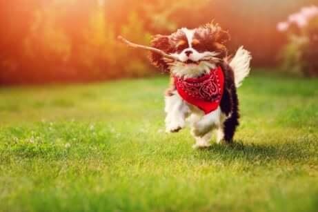Lanciare un ramo: cane con un ramo tra i denti.