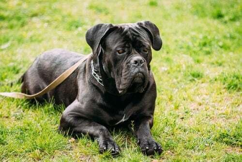 Cane corso: un ottimo cane da guardia e da compagnia