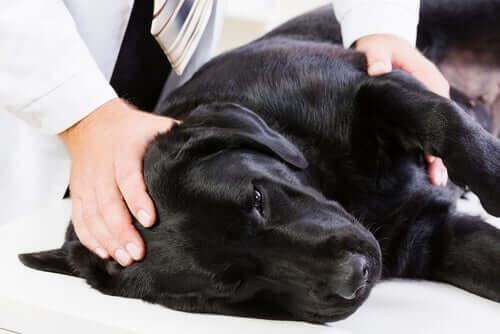 Epatite infettiva del cane: sintomi e cause
