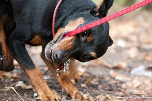 Cosa fare se il cane morde il guinzaglio?