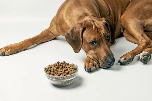Cane che non mangia il suo cibo.