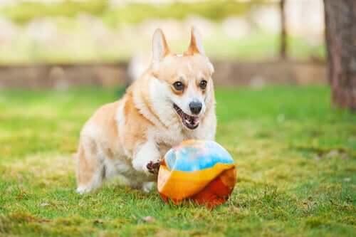 Cane che gioca con la palla.