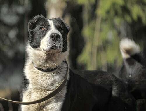 Come addestrare il cane da pastore dell'Asia centrale