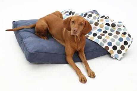 Cucce per cani: cane su una cuccia classica.