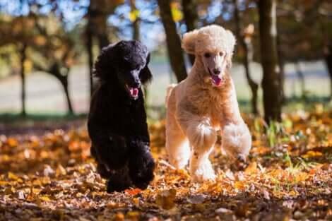 Due cani barboni corrono al parco.