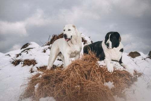 Cani sulla neve.