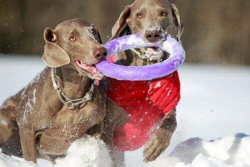 Cani che giocano sulla neve.