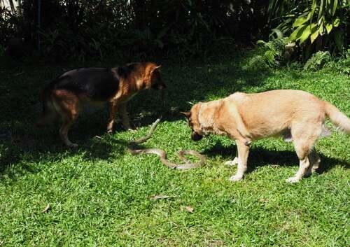 I cani giocano con un serpente.