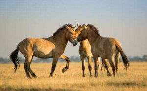 Il pony della Mongolia: tutto su un cavallino che ha fatto la storia