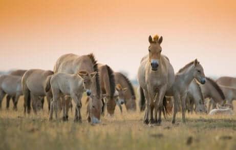 Gruppo di cavalli selvatici.