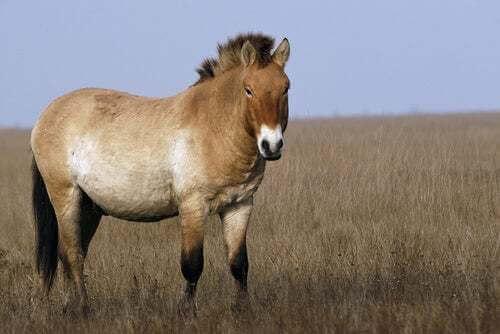 Pony della Mongolia in una prateria.