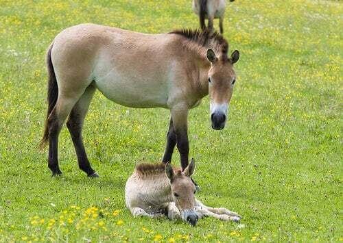 Cavallo con puledro.