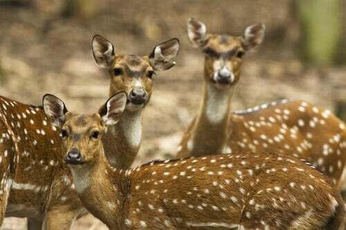 Caratteristiche e habitat del cervo pomellato