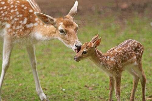 Madre con un cervo piccolo.