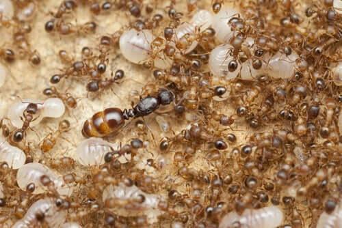 Il ruolo della formica regina nelle colonie