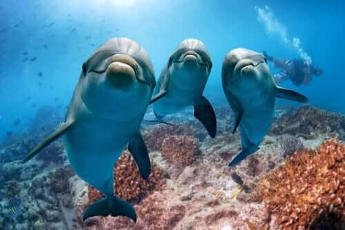 Delfino dal naso a bottiglia che nuota con la prole.