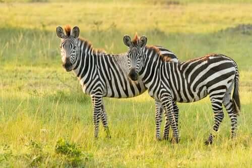 Zebra delle pianure: caratteristiche e habitat