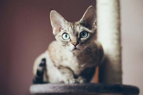 Come addestrare il gatto Devon rex e prendersene cura