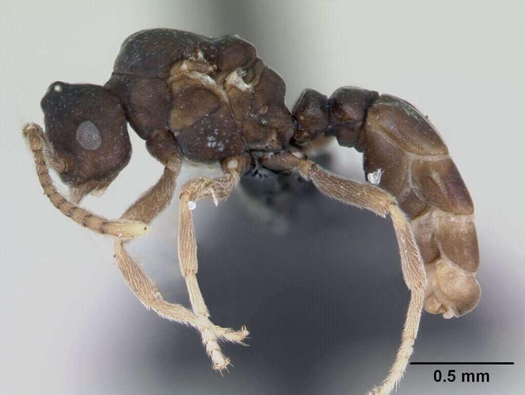 Le formiche Anergates atratulus e il loro incredibile comportamento