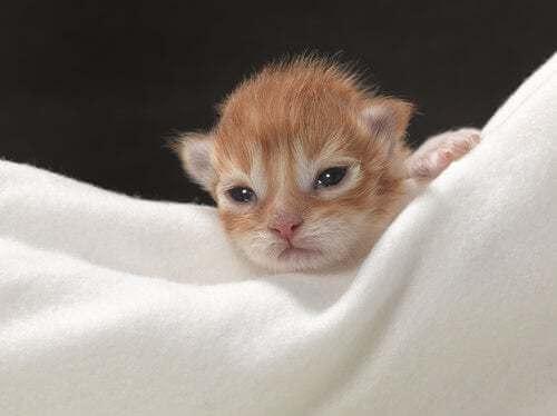 Come prendersi cura di un gattino non svezzato?