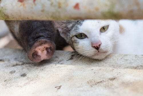 Sindrome maiale-gatto: in cosa consiste questa allergia?