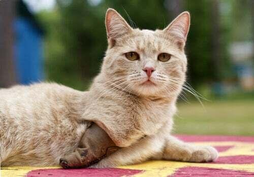 Gatto con una protesi nella zampa.