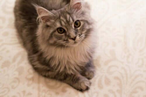 Artrosi nel gatto: sintomi e trattamento