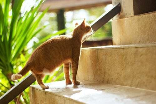 Gatto a cui manca una zampa.