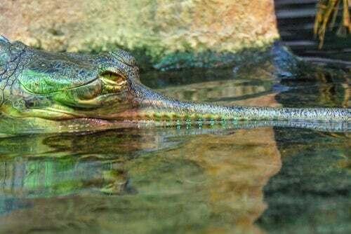 Il gaviale del Gange: caratteristiche e habitat