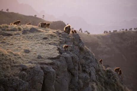 Scimmie dal cuore sanguinante sulle montagne dell'Etiopia.